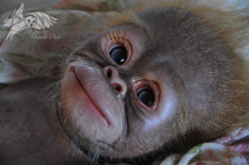 Orangutan Aug 2018